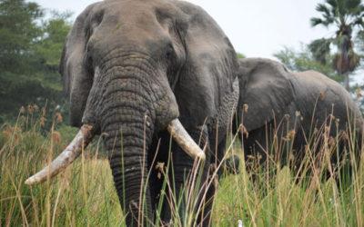 Bushmeat – Carne de animales salvajes